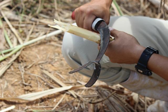 沖縄さとうきび収穫食べれる場所